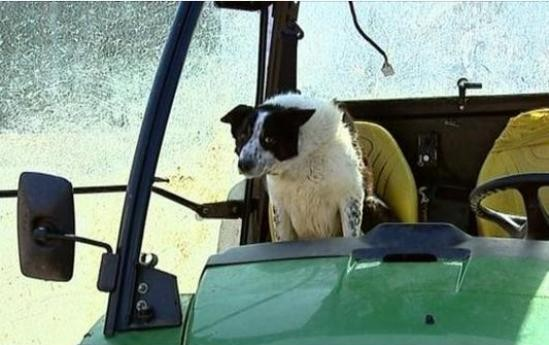 don sheepdog drives tractor scotland