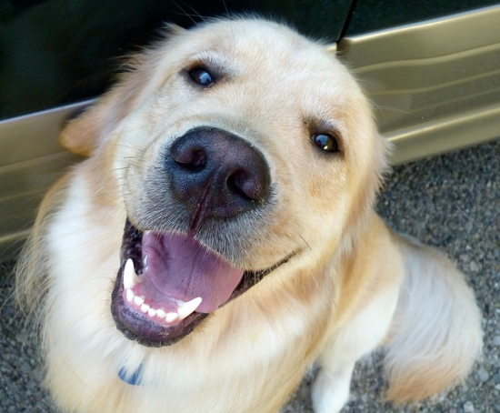 smiling golden retriever oxytocin