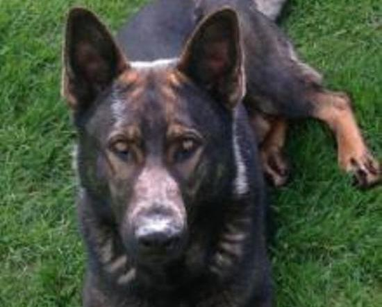 police dog thames lost in new zealand