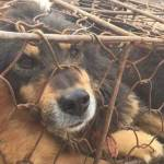 Chinese Woman Buys 100 Pups Headed for Yulin Dog Meat Festival