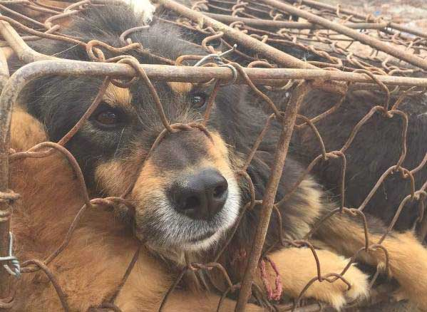 dog in cage at yulin dog meat festival