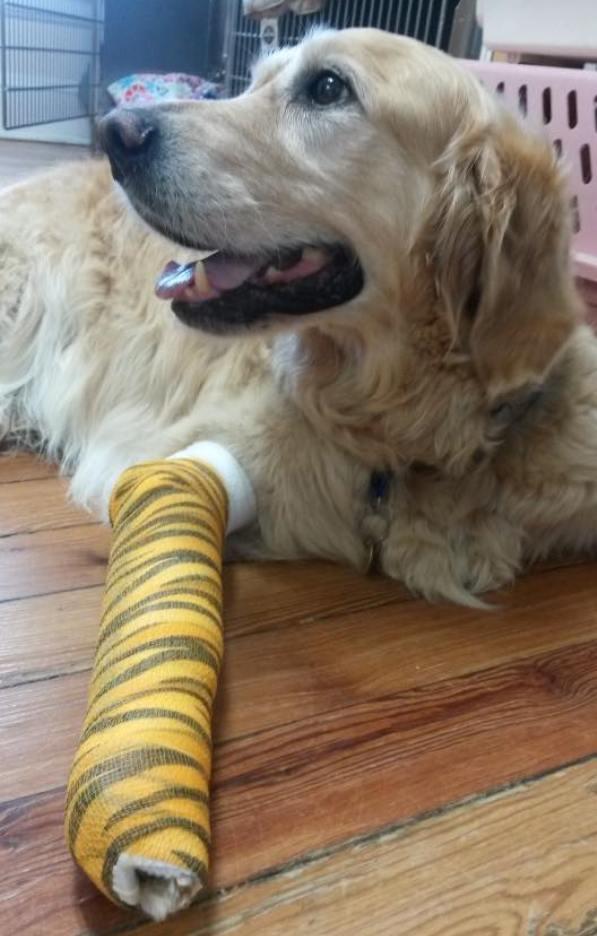 Figo hero guide dog with bandaged leg