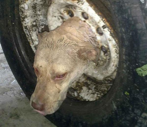 jimma dog head stuck in tire