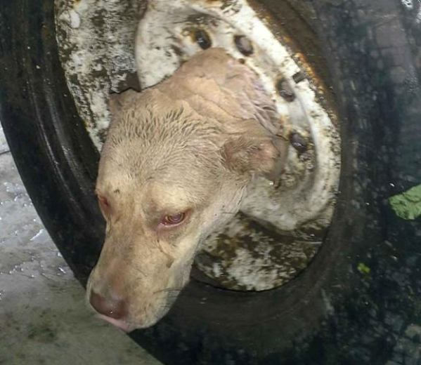 jimma dog stuck in tire