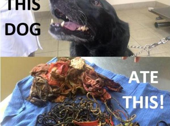 black lab ate 62 hair bands
