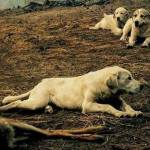 Sheep Dogs Guard Fawn's Body after Idaho Wildfire