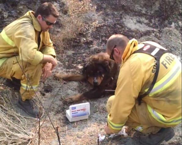 firefighters save burned dog in Rocky Fire