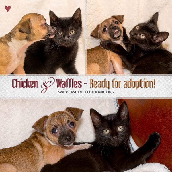 Chicken and Waffles puppy and kitten BFFs