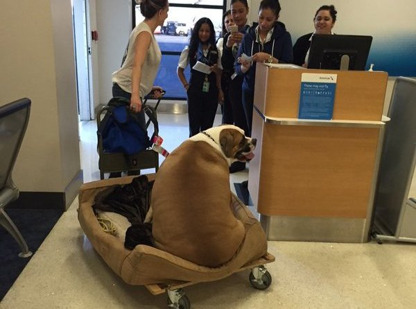 Hank big mastiff flying first class