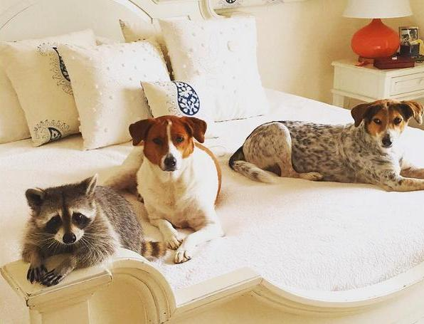raccoon and two dogs