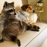 Raccoonhound? Orphaned Raccoon Becomes BFFs with Dogs