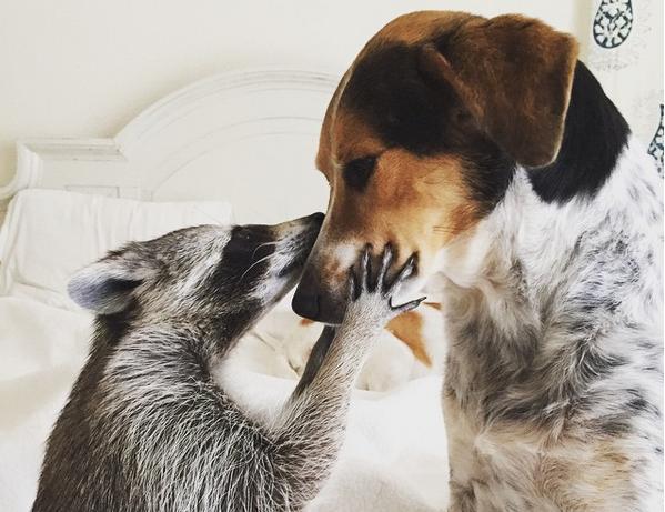 raccoon holding dog