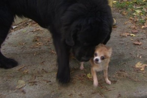 chihuahua saves newfoundland from dog thief