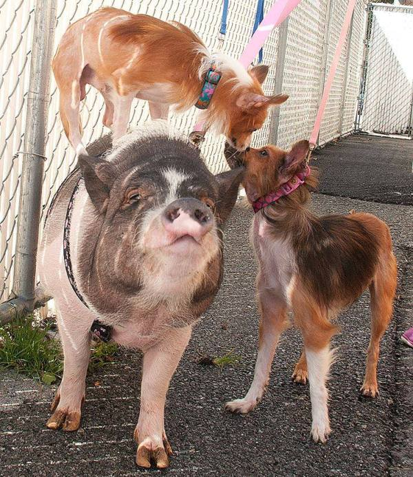 pot-bellied pig and two dog friends