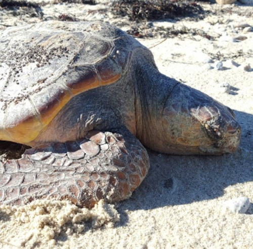 stranded logger sea turtle rescued by dog