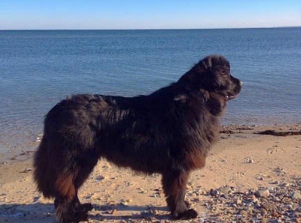 Veda dog rescued stranded sea turtle