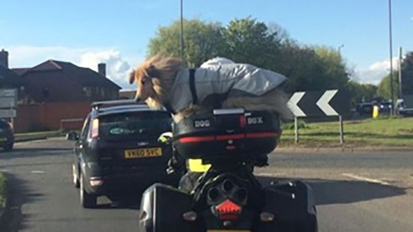dog strapped to top of motorbike