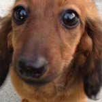 PetSmart Groomer Charged with Animal Cruelty after Dachshund Dies