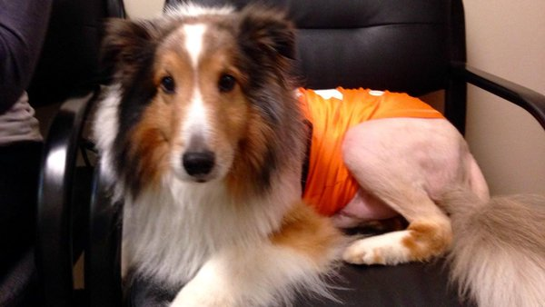 dog paralyzed by tick saved before being euthanized