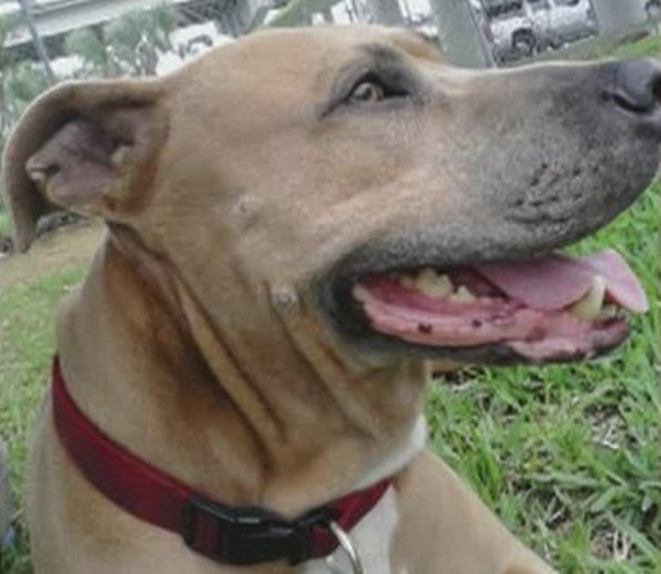 pit bull service dog saves man from alligator attack