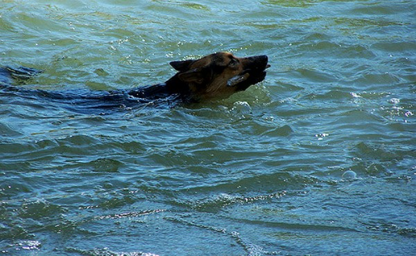German Shepherd swimming in river