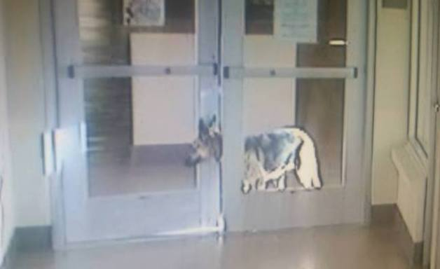 german shepherd escapes from shelter