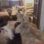 Baaa-d Job? Border Collie Herder-in-Training Leads Sheep into House