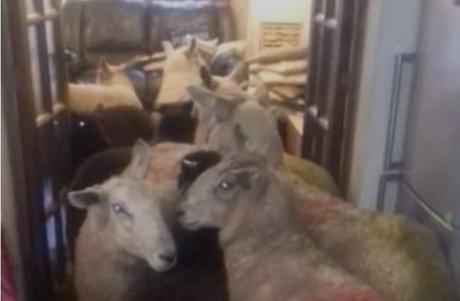 border collie herded sheep inside house