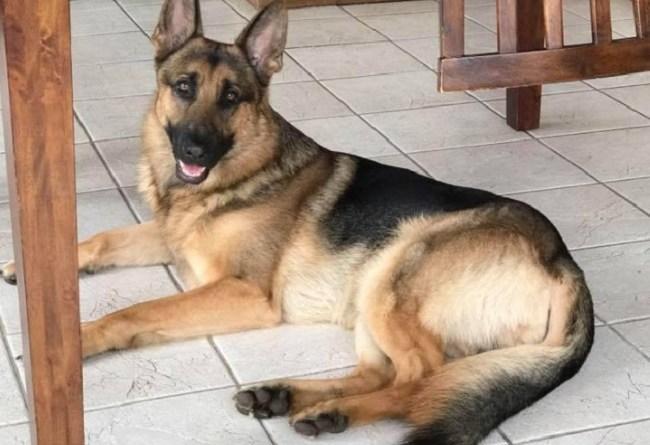 Rex the hero dog shot 3 times