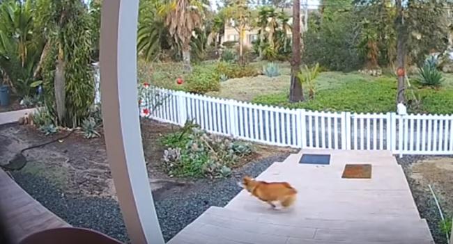 corgi chases coyote