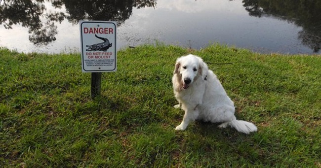 elderly man saves dog from alligator