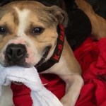 Dogfighting Survivor Becomes New Jersey's First Pit Bull Arson Officer