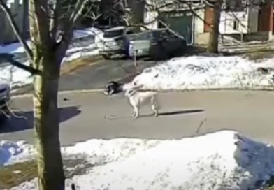 hero dog stops traffic when her owner has a seizure