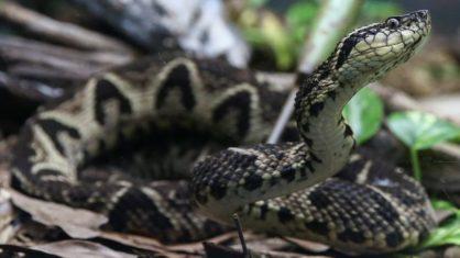 Molecule in snake venom inhibits coronavirus reproduction, Brazilian research reveals