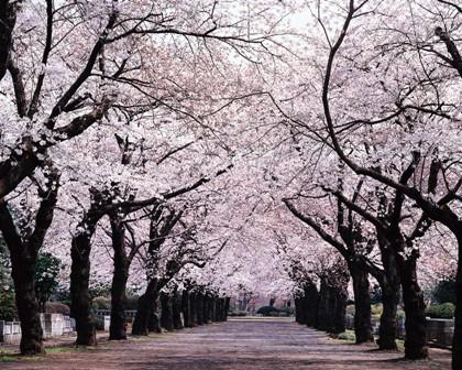 άνθη κερασιάς ιαπωνία