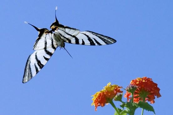 πεταλούδα λουλούδι ρόδος φύση ελλάδα