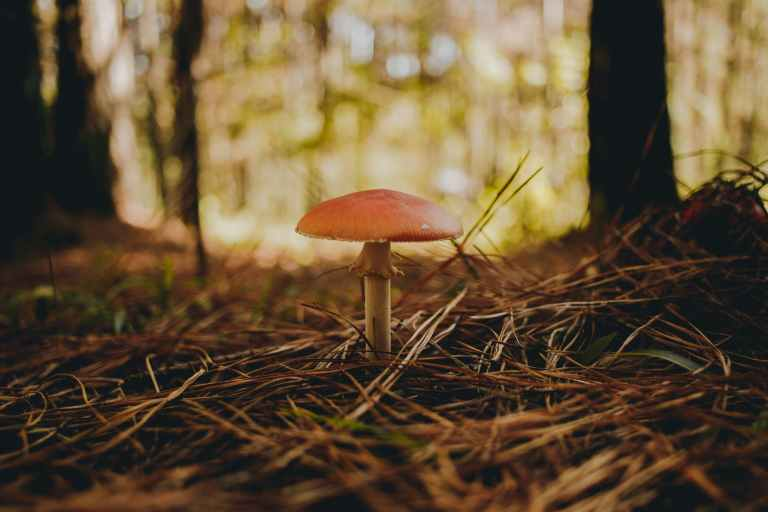 mushroom among spruce needles in forest