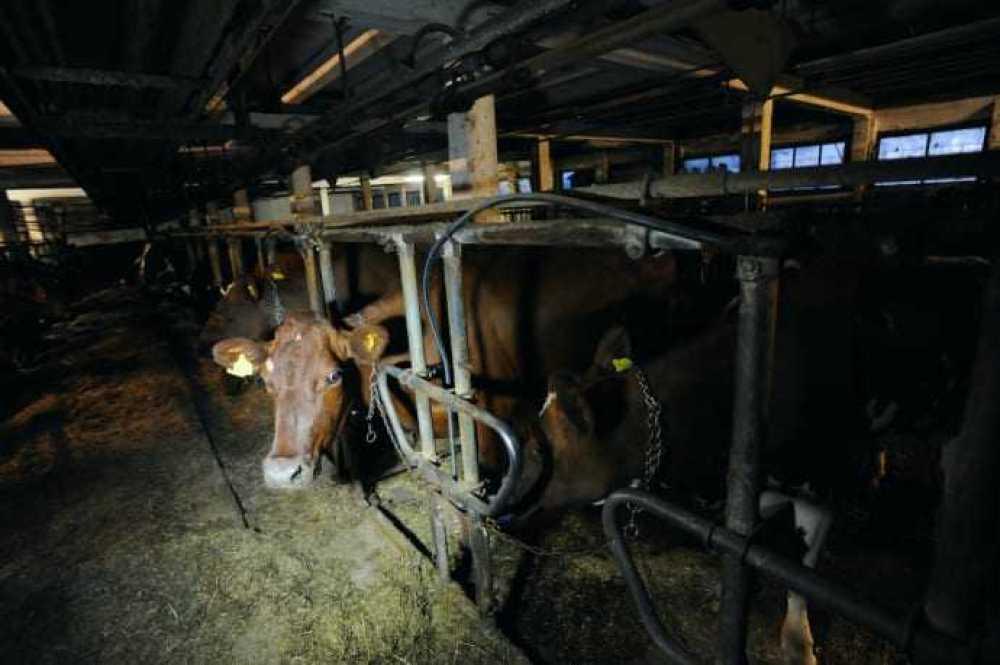 Guldbelönade mjölkbönder bryter mot djurskyddslagstiftningen