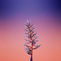 iOS_11_GM_Wallpaper_Flower_AECHMEA-740x740