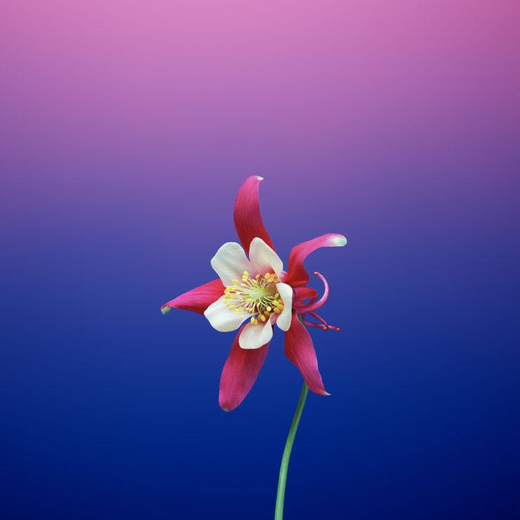 iOS_11_GM_Wallpaper_Flower_AQUILEGIA-740x740