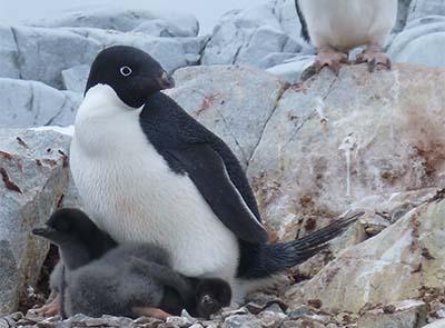 Penguins under climate threat