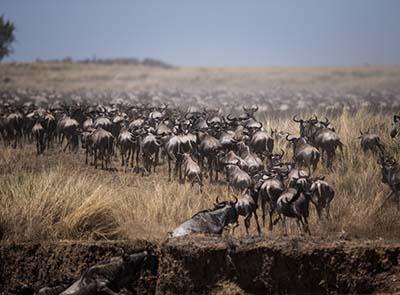 Catch wildebeest migration live