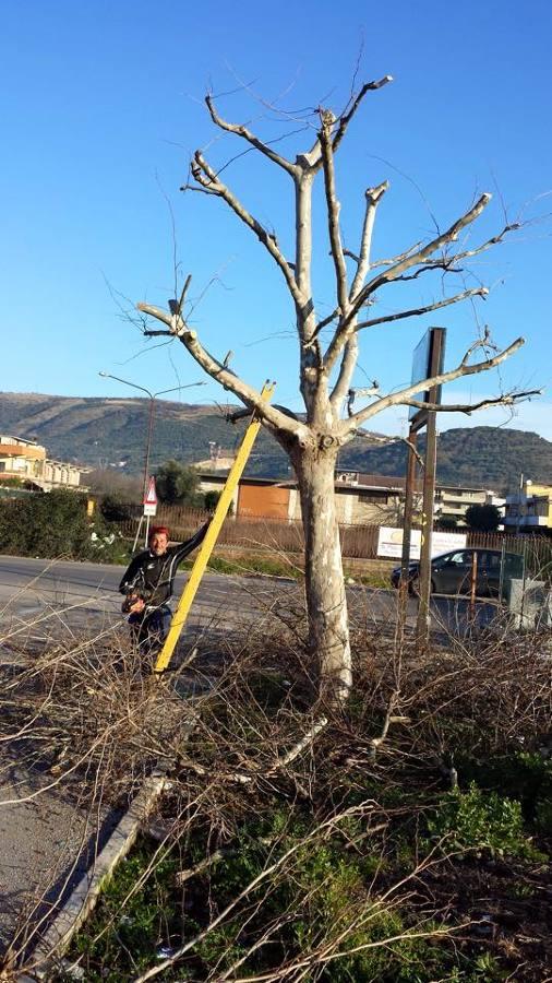 Foto Potatura Albero Platano di Idea Verde Di De Lucia Salvatore 297323  Habitissimo
