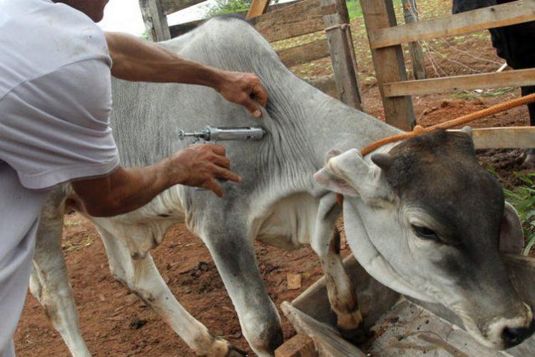 1ª etapa da vacinação contra a aftosa teve início na segunda-feira (4)