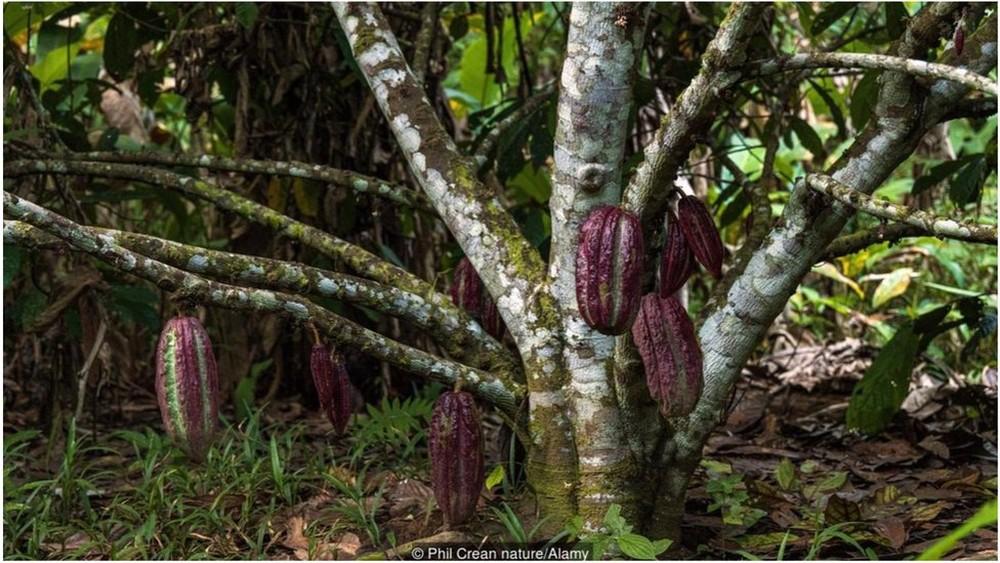 A redescoberta da árvore de cacau responsável pelo 'Rolex dos chocolates'