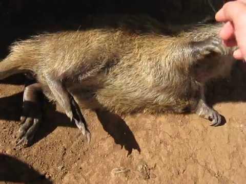Animal raro na região, ratão-do-banhado é atropelado e morto em SFI, sendo levado para análise na Uenf