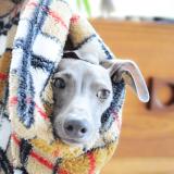 イタグレ|寒いから寝袋で散歩に行きたかった