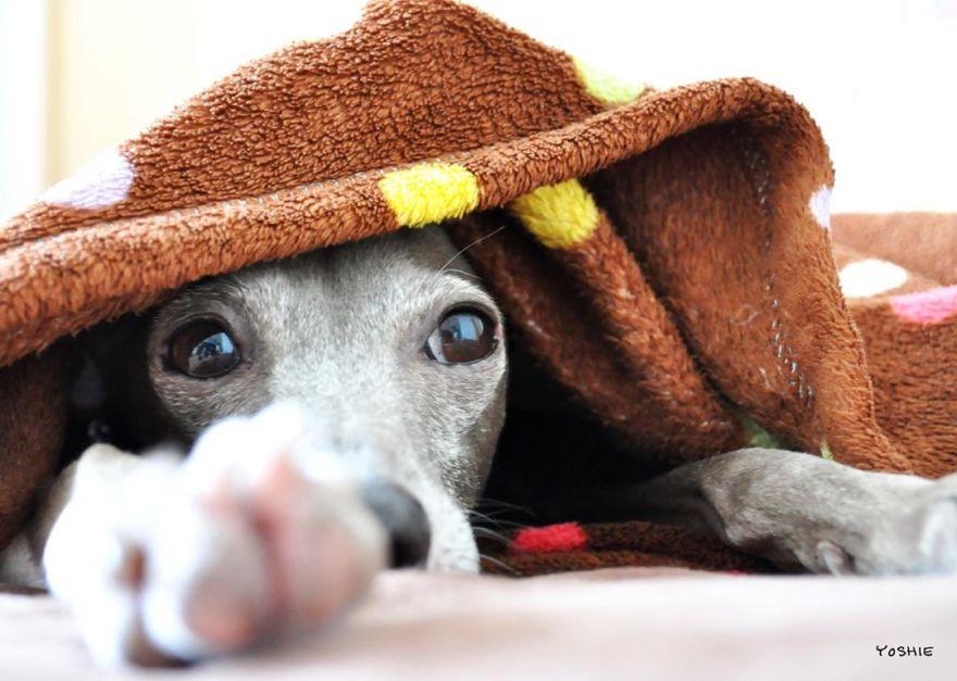 おきたよ・・。-イタグレ服とBuono!の暮らし | Italian Greyhound Buono!