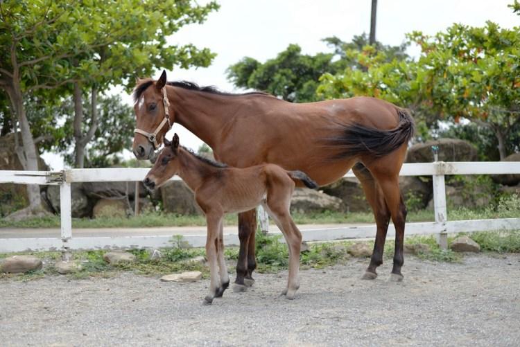 《悠客論馬》新馬訓練(一) 高斯曼