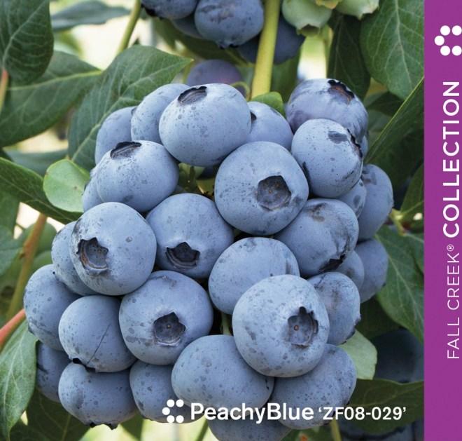 Fall Creek Peachy Blue
